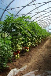 Hothouse tomatoes in Hazelton, BC (Photo: BC Ministry of Agriculture)