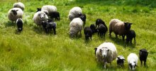 Sheep in Telkwa, BC (Photo: BC Ministry of Agriculture)