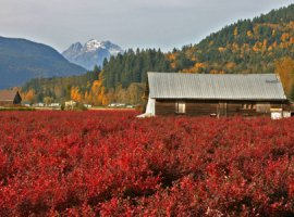 Blueberry farm in Mission, BC (Photo: Picture BC)